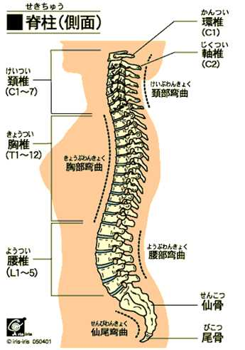 背骨全体の補正+骨盤の補正2